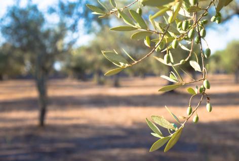 The secret of Olive Tree