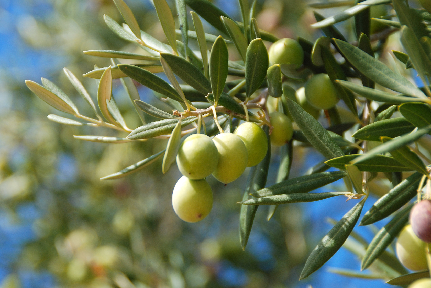 olive leaf immune defenses