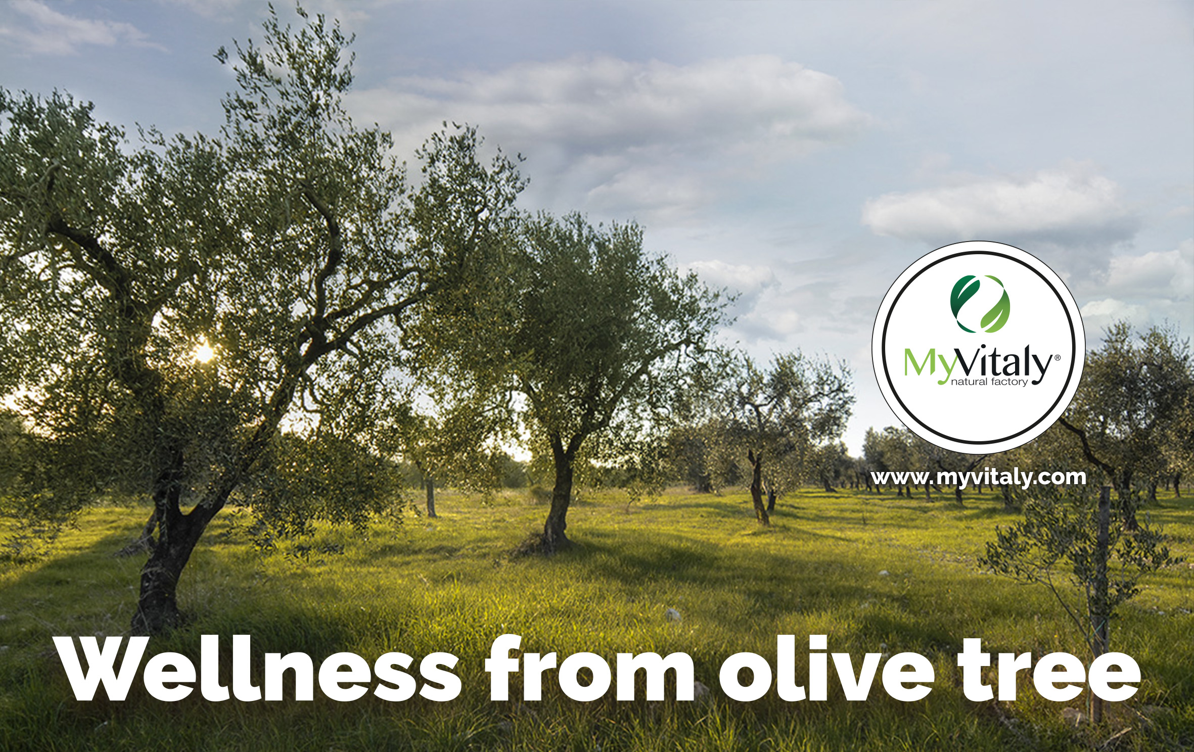 Olive_Trees_Italy_Greece_IMAGE_EN