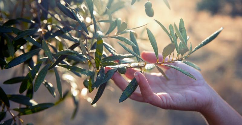 maslinov list